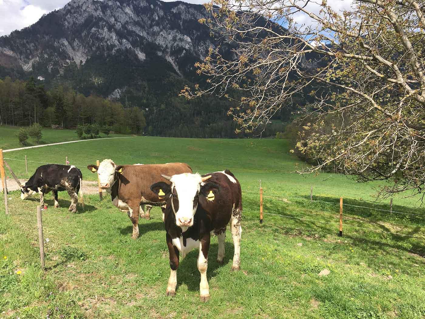 Der Hof besteht seit 1904 in vierter Generation und bietet derzeit 36 glücklichen Kühen und Kälbern sowie Hendln und Hasen eine artgerechte, glückliche Lebensweise.
